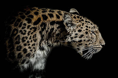Leopard Wall Art - Photograph - The Seeker by Paul Neville