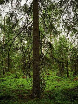 Photograph - The Shadow Of The Spruce by Jouko Lehto