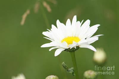 Photograph - The Shasta Daisy  by Cathy Beharriell