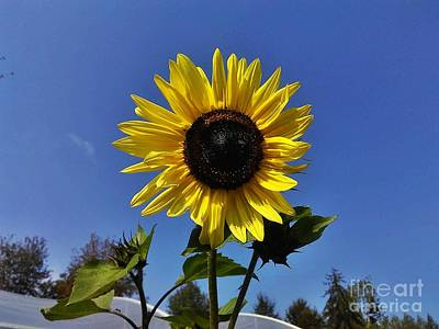 Photograph - The Shining Sunflower by Erika H