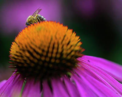 Cone Flower Photograph - The Shy Bee by Jeff Klingler