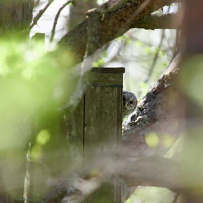 Photograph - The Shy One. Tawny Owl Juvenile by Jouko Lehto