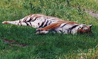 Photograph - The - Sleeping - Tiger  by D Hackett