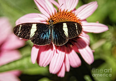 Photograph - The Small Blue Grecian by Robert Bales