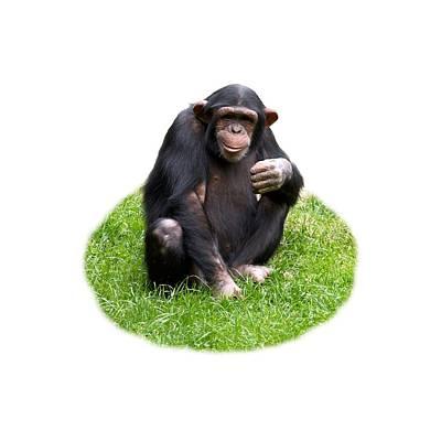 Photograph - The Smiling Chimp Transparent by Jouko Lehto