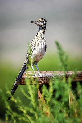 Photograph - The Smug Roadrunner by Debra Martz