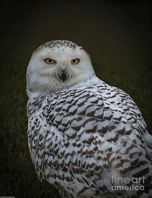 Photograph - The Snowy Owl by Mitch Shindelbower