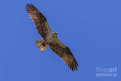 Photograph - The Soaring Osprey by Robert Bales