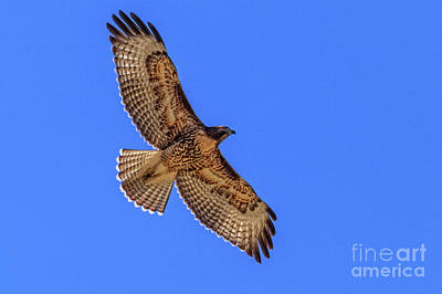 Photograph - The Soaring Red Tail Hawk by Robert Bales