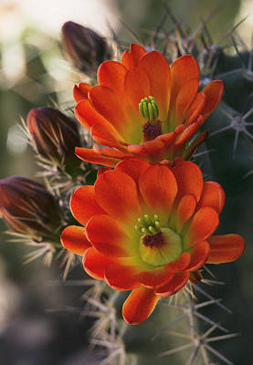 Photograph - The Softer Side Of A Cactus  by Saija Lehtonen