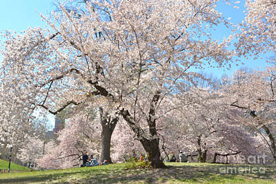 Photograph - The Softness Of Spring - Cherry Blossoms In Central Park by Miriam Danar