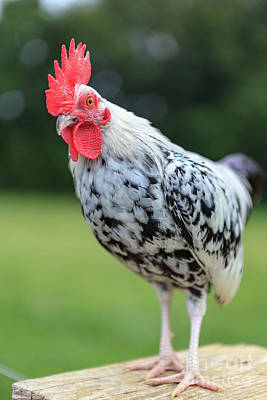 Photograph - The Speckled Chicken by George Sheldon