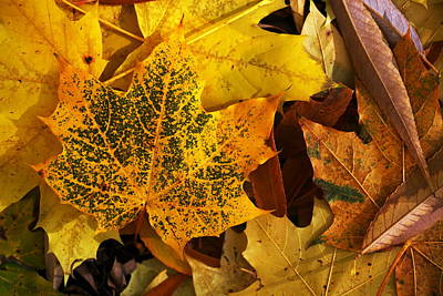 Photograph - The Speckled Maple Leaf by David Andersen