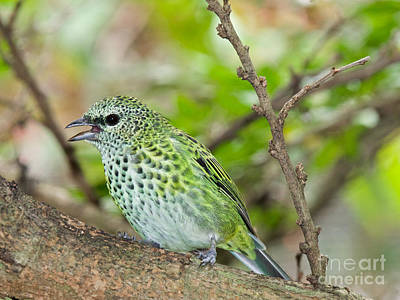 Photograph - The Spotted Tanager by Judy Kay