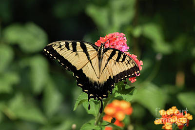 Photograph -  The Spread Eastern Tiger Swallowtail Butterfly Art by Reid Callaway