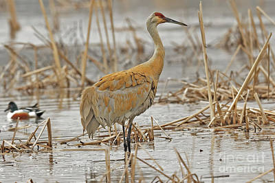 Photograph - The Spring Sandhill Crane Are Back by Natural Focal Point Photography