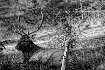 Photograph - The Squirell And The Elk Bw by Darcy Michaelchuk