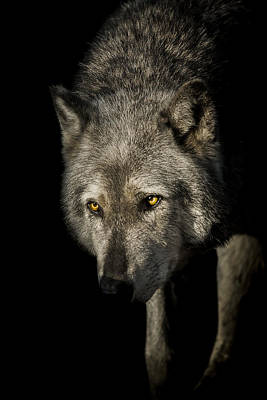 Wolves Photograph - The Stalker by Paul Neville