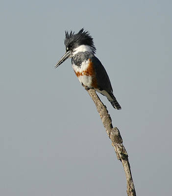 Belted Kingfisher Wall Art - Photograph - The Stand by Fraida Gutovich