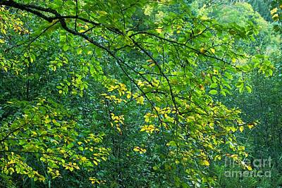 Photograph - The Star Of The Forest - 01c by Variance Collections