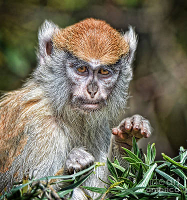 Photograph - The Stare A Baby Patas Monkey  by Jim Fitzpatrick