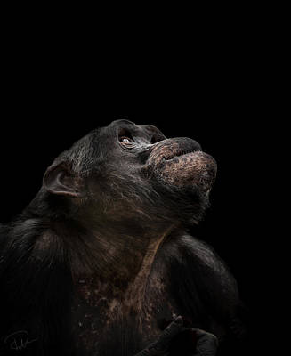 Chimpanzee Photograph - The Stargazer by Paul Neville