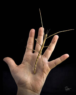 Photograph - The Stick Bug by Endre Balogh