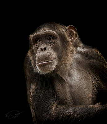 Chimpanzee Photograph - The Storyteller by Paul Neville