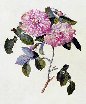 Botanical Drawing - The Striped Monthly Rose by Georg Dionysius Ehret