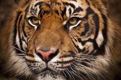 The Sumatran Tiger Cat Original by Chad Davis