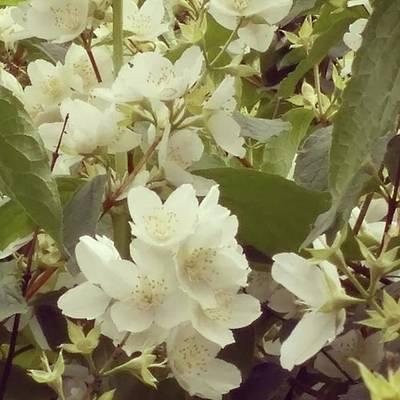 Bloom Photograph - The Summer Smells Like A Mock Orange by Arletta Cwalina