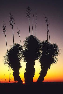 The Sun Sets Behind A Stand Of Yucca Art Print by Bill Hatcher