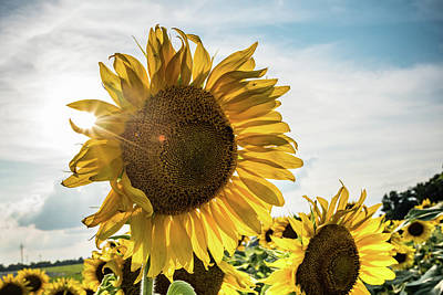 Photograph - The Sun Shining On A Sunflower by Anthony Doudt
