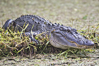 Reptiles Royalty-Free and Rights-Managed Images - The Sunbather by Betsy Knapp