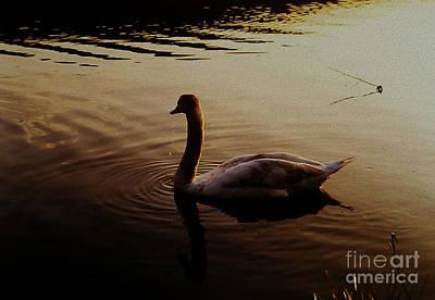 Caravaggio - The Sundown Swan by Martin Howard