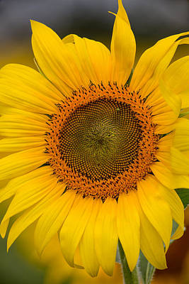 Photograph - The Sunflower by Dale Kincaid