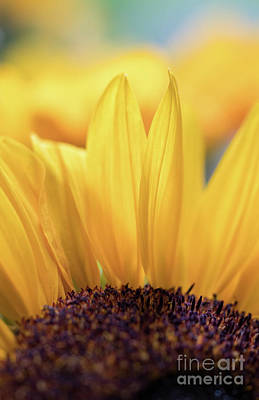 Photograph - The Sunflower by Giovanni Malfitano