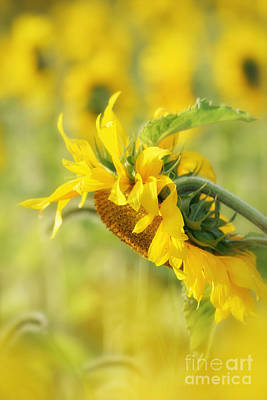 Photograph - The Sunflower by Lila Fisher-Wenzel