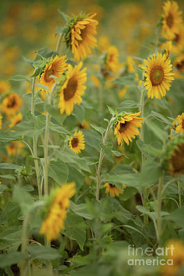 Photograph - The Sunflower Patch by George Sheldon
