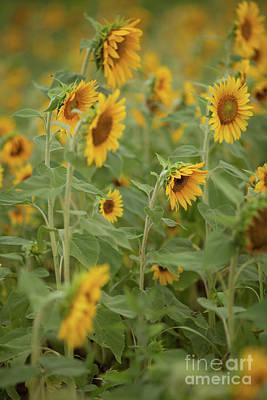 The Sunflower Patch Art Print