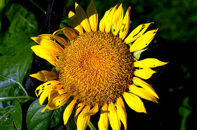 Photograph - The Sunflower State by Tim McCullough