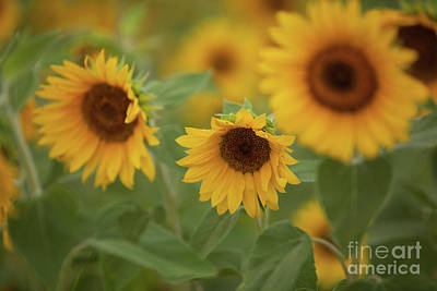 The Sunflowers In The Field Art Print