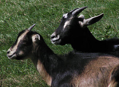 Photograph - The Sunning Goats by Nancy Griswold