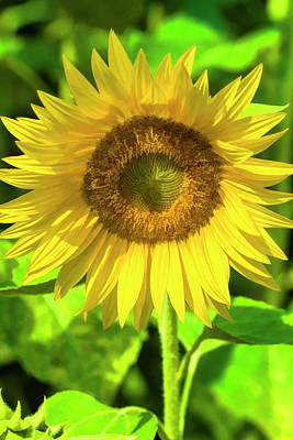 Photograph - The Sunny Sunflower by Kathy Clark