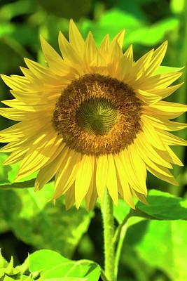 Photograph - The Sunny Sunflower by Kathy Clark