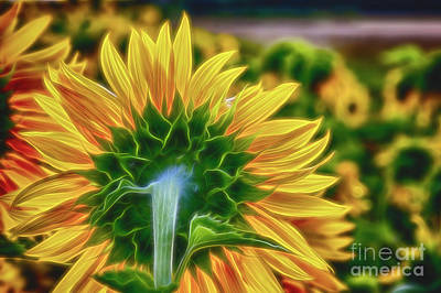 Sunflowers Royalty-Free and Rights-Managed Images - The sunnyest of the morning 2 by Veikko Suikkanen