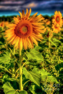 Sunflowers Royalty-Free and Rights-Managed Images - The sunnyest of the morning 3 by Veikko Suikkanen