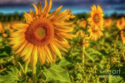 Sunflowers Royalty-Free and Rights-Managed Images - The sunnyest of the morning by Veikko Suikkanen