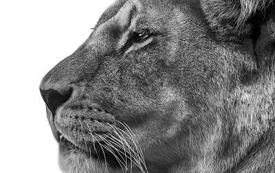 Lioness Wall Art - Photograph - The Surveyor by Paul Neville