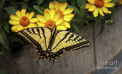 The Swallowtail Print by Robert Bales